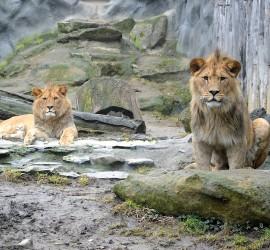 Berberští lvi Terry a Basty. Foto ZOO Liberec