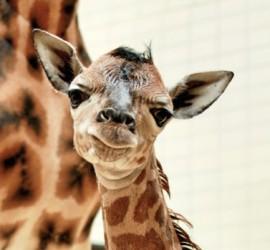 zirafa_zoo_nahled