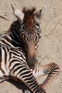 Equus quagga borensis