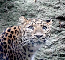zoo_levhart