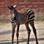 Zebra bezhřívá
